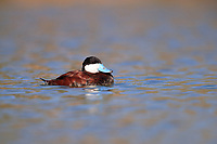 Ruddy Duck (Oxyura jamaicensis jamaicensis), male molting into breeding plumage swimming in a pond in Papago Park, Phoenix, Arizona.