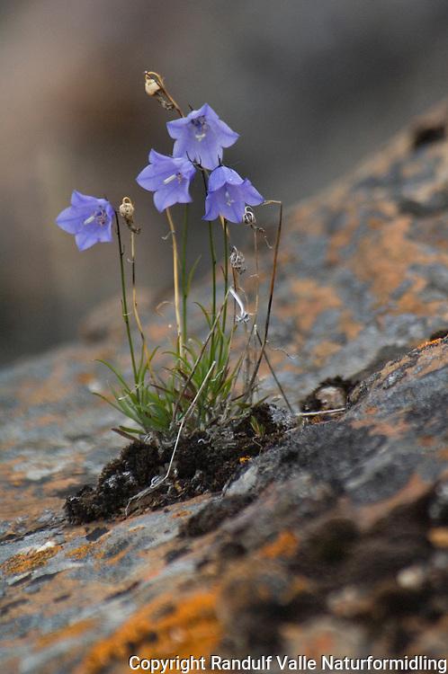 Grønlandsk blåklokke ---- Greenland bellflower