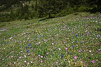 Alpen-Wiese, Alpenwiese, Blumenwiese, Bergwiese mit Mehlprimel, Enzian und anderen Alpenblumen, bei Grän, Tirol, Österreich, Alpen. Alps. Primula farinosa, bird's-eye primrose. Gentiana, gentian