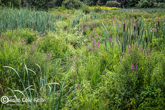 The Meadow at the Arnold Arboretum in Jamaica Plain, Boston, Massachusetts, USA