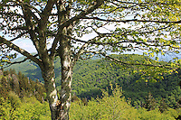 A tree overlooking the mountains and a  vallery of the Great Smoky mountains national park.