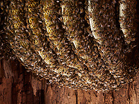Honeybee natural nest in a hollow tree.