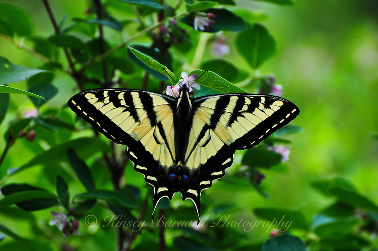 Tiger Swallowtail butterfly sipping nectar from pink flowers