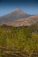 Tenerife forest trees below Mount Teide. Tenerife, Canary Islands,Spain