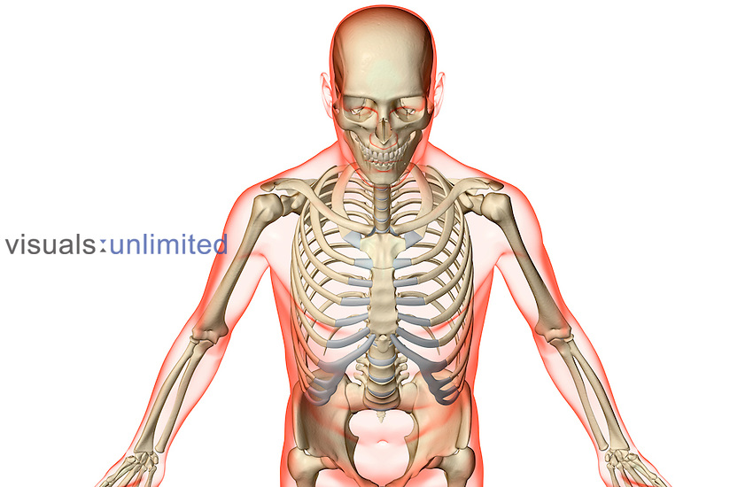A superior anterior view of the bones of the upper body. The surface anatomy of the body is semi-transparent and tinted red. Royalty Free
