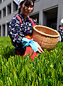 Tea-picking Time in Iruma