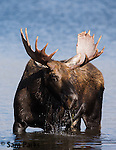 Bull moose feeding in pond. Roosevelt National Forest, Colorado.