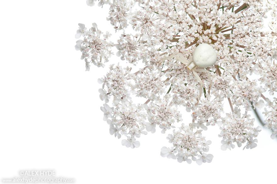 White form of Goldenrod Crab Spider {Misumenia vatia} camouflaged on umbelliferae flowers where it waits to ambush its prey. Photographed on a white background. Midi-Pyrenees, Pyrenees, France. August.