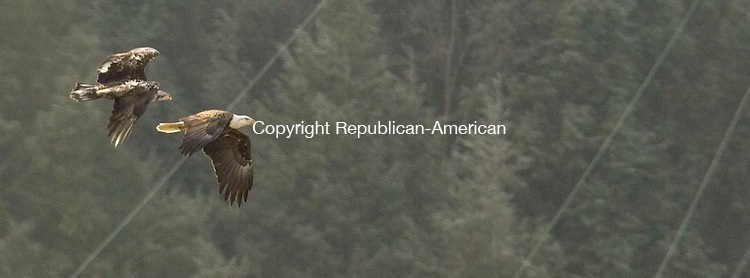 SOUTHBURY, CT- 13 JANUARY 2008-011308JS04--A juvenile bald eagle trails a mature bird  at the Shepaug Dam in Southbury on Sunday. <br /> Jim Shannon / Republican-American