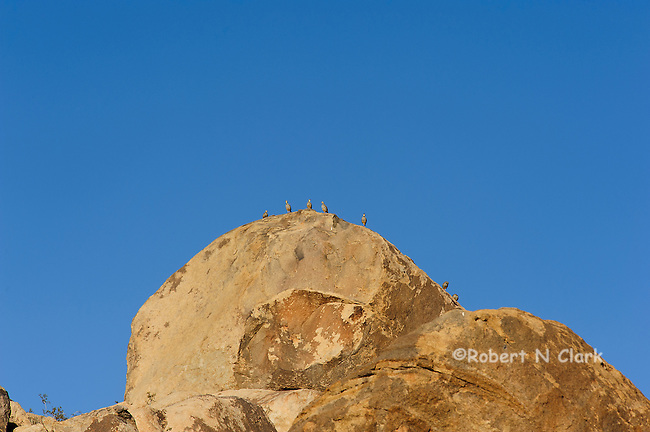 Chukar in a natural setting in the Mojave Desert