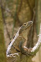 Ctenosaur, Carara, Costa Rica, Central America