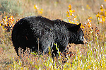 Black Bear, Tower Junction, Yellowstone National Park, Wyoming