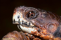 1R43-009x  Eastern Box Turtle - close-up of head - Terrapene carolina