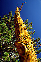 Pine tree and blue sky, John Muir Trail, Sequoia National Park, California.