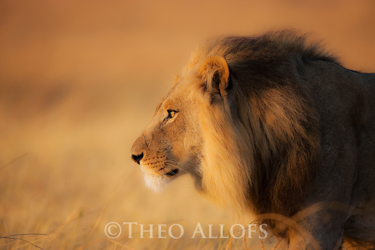 Botswana, Chobe National Park, Savuti, male lion (Panthera leo) walking in grass savannah early morning, close-up, side view, portrait