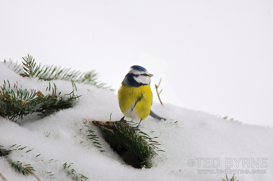 Blue Tit on pine branch in the snow