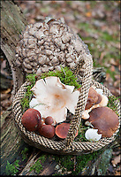 BNPS.co.uk (01202 558833)<br /> Pic: PhilYeomans/BNPS<br /> <br /> If you go down to the woods today...you'll find them carpeted with a bumper crop of wild mushrooms.<br /> <br /> Mix of wild mushrooms from the New Forest - Hen of the wood, Cep, Hedgehog and Beefsteak.<br /> <br /> Foragers are heralding a vintage year for wild mushrooms after the hot summer and mild autumn brought about a glut of the woodland delicacies.<br /> <br /> The warm weather has produced the best crop of wild mushrooms in eight years, according to experts.<br /> <br /> With temperatures above average for the time of year, forests and fields around the UK have been bursting with the much sought-after fungi.<br /> <br /> It is a stark comparison to last year when heavy rain and cold temperatures in autumn and winter all but wiped out the country's wild mushrooms.<br /> <br /> Brigitte Tee, the only person to have a licence to pick mushrooms commercially in the New Forest, described this year's mushroom season as &quot;phenomenal&quot;.
