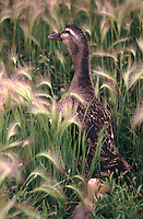 A goose walks through tall grass as a gosling walks behind.