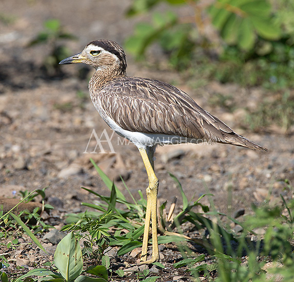 Double-striped thick-knees were yet another wader seen along the Rio Tarcoles.