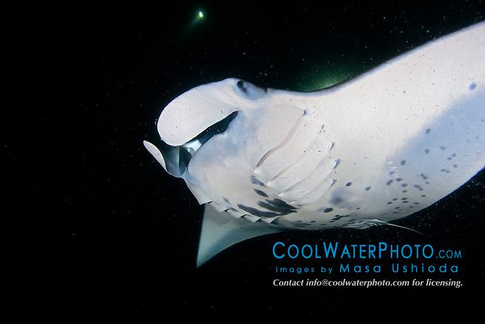 reef manta ray or coastal manta, Manta alfredi, feeding on plankton at night, off Kona Coast, Big Island, Hawaii, Pacific Ocean