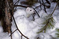 Hermelijn (Mustela erminea) in wintervacht. .