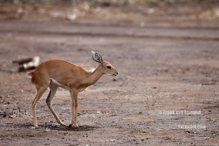 Steenbok (Raphicerus Campestris)..Instintively covering up it's urine and fecies  by kicking sand over it...Mashatu Game Reserve..Tuli block, Botswana..November 2010.