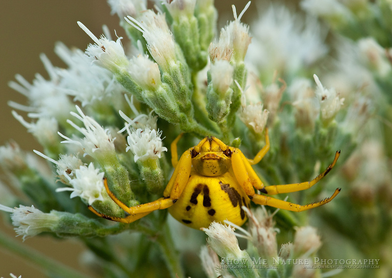 A bright yellow, Ridge-faced Spider peeks out form a prairie wildflower flower