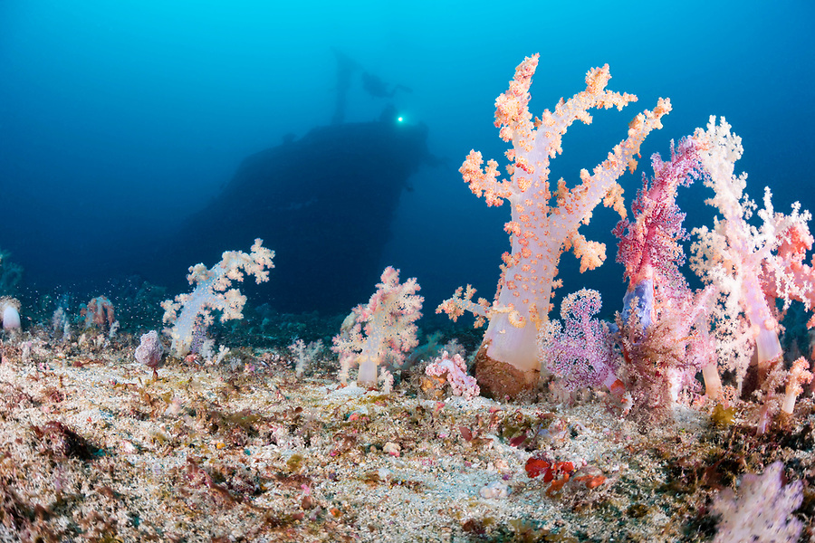 Alcyonarian coral stands upright on the bottom at 100 feet while divers (MR) in the background explore the wreck of the Alma Jane off Sabang Beach, Puerto Galera, Mindoro, Philippines.