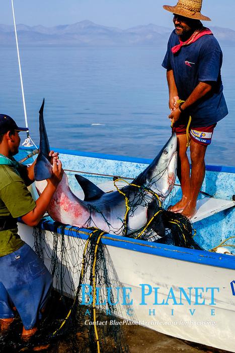 Shark fishing, Mako shark, Isurus oxyrinchus, Sea of Cortez, Mexico, Pacific Ocean