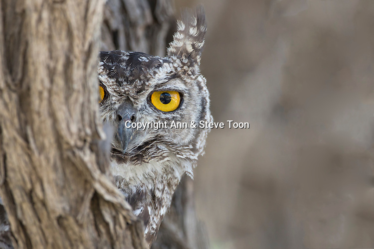 Spotted eagle owl (Bubo africanus), Kgalagadi Transfrontier Park, Northern Cape, South Africa, February 2016