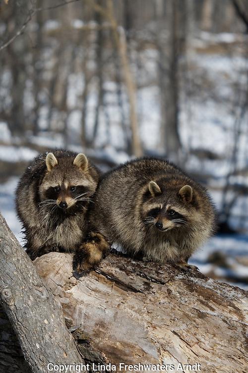 Two raccoons (Procyon lotor) sitting on a tree limb