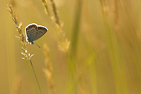 Silver-studded blue, adult at rest in grass backlit, Plebejus argus, Bulgaria
