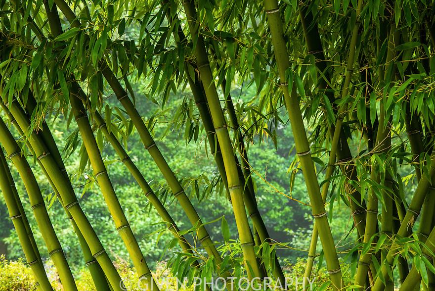 Bamboo, Washington