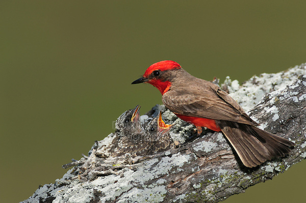 Vermillion Flycatcher (Pyrocephalus rubinus), male feeding young in nest, Laredo, Webb County, South Texas, USA