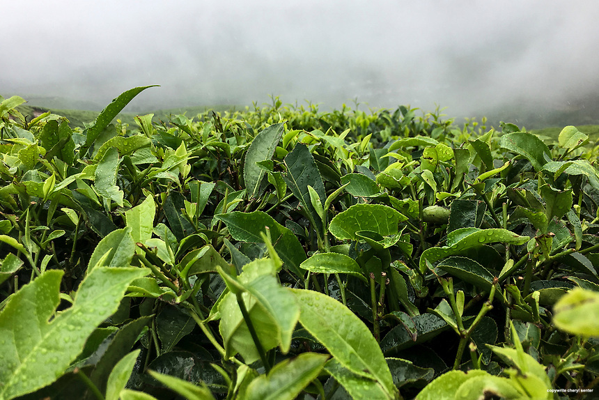 Morning fog lifts offering a view of evergreen tea shrubs on the Kolukkumalai Tea Estate in Munnar, Kerala, India June 13, 2017. Its about an hour ride by jeep up a bumpy steep winding road to reach the Kolukkumalai Tea Estate.  The estate, built in the 1930's, sits high on a ridge above the plains of Tamilnadu. At about 8,000 feet above sea level, this tea estate is the highest in the world. Kolukkumalai Tea Estate still uses the plants original machinery and processes the tea using traditional methods.  (Photo by Cheryl Senter)