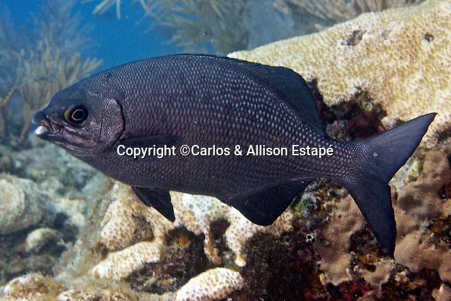 Kyphosus cinerascens, Topsail sea-chub, Florida Keys