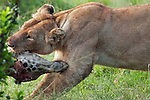 African Lion lioness dragging the carcass of a Giraffe she has just killed (Panthera leo), Masai Mara, Kenya.