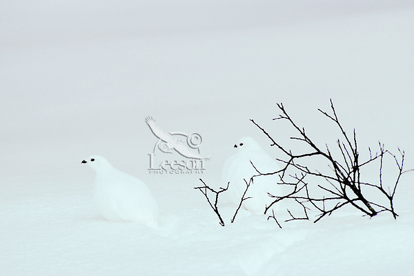 White-tailed Ptarmigan (Lagopus leucurus) in winter plumage, Northern Rockies