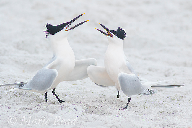 Sandwich Terns (Sterna sandvicensis), pair calling together during courtship, Fort De Soto Park, Florida, USA.