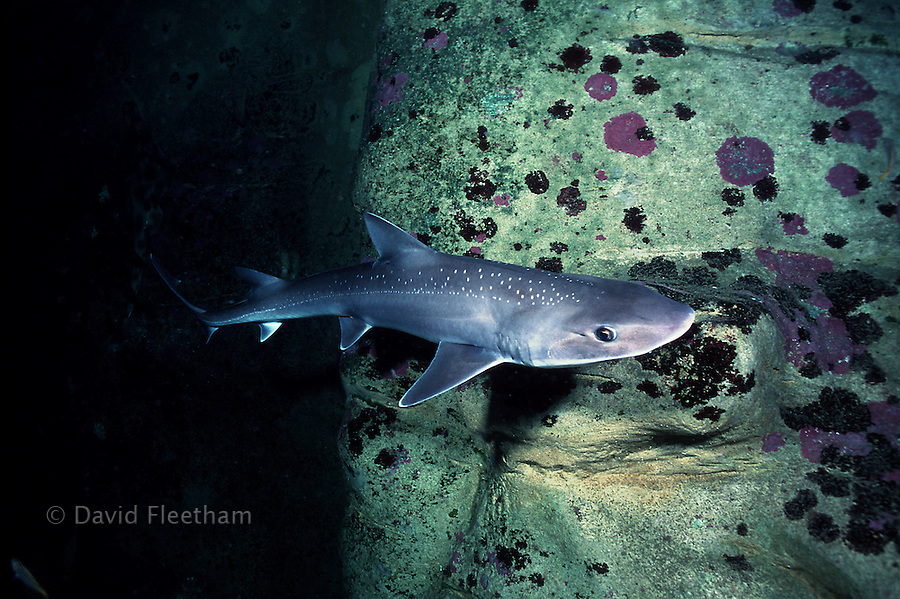 Since becoming acceptable for consumption, gummy sharks, Mustelus antarcticus, are one of the many species that have been overfished.  Australia.