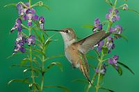 Rufous Hummingbird, Selasphorus rufus, immature in flight feeding on Purple Angelonia(Angelonia angustifolia), Paradise, Chiricahua Mountains, Arizona, USA