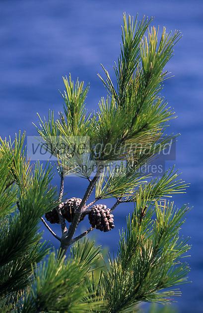 Europe/Provence-Alpes-Côte d'Azur/83/Var/Ile de Porquerolles: Détail pin d'Alep