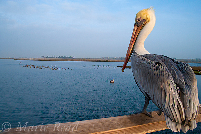 Brown Pelican (Pelecanus occidentalis), perched on railing of boardwalk, wide-angle, Bolsa Chica Ecological Reserve, California, USA
