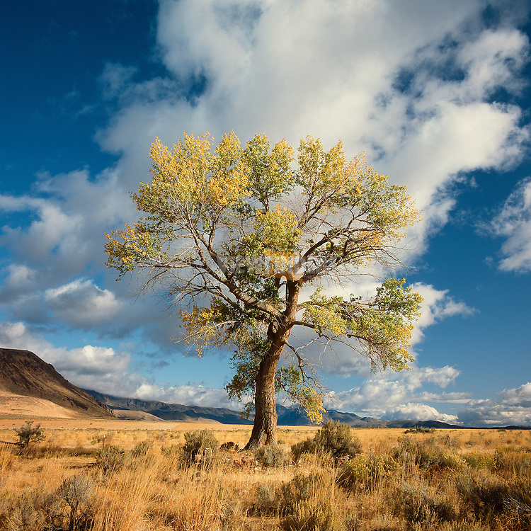 Lone Black Cottonwood Tree with Sagebrush, Alvord Desert