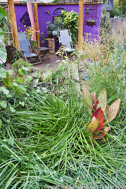 A swirl of grass along with a varigated canna lily provide a dramatic foreground for the  purple wall and deck in DanJohnson's Denver garden.