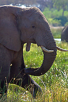 Elephant Profile in the Okavango Delta, Botswana Africa