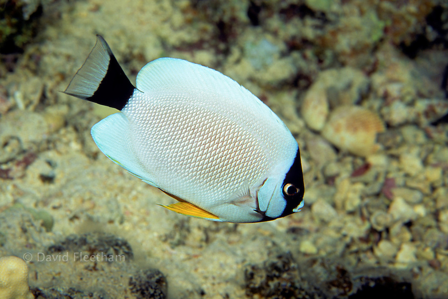 The white and black masked angelfish, Genicanthus personatus, is one of the world's rarest coral reef fish. Hawaii.