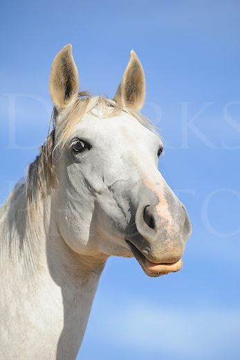 White horse head shot against blue summer sky background, alert and attractive ears up farm animal in Maryland, MD, USA.