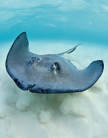 TR4981-Dm. Southern Stingray (Dasyatis americana) swimming over shallow sandy bottom. An inshore species, from intertidal to at least 50 meters deep. Usually inactive during day, often buried under sand. Feeds at night primarily on fish, clams, and worms found on sand flats and seagrass beds. Mating occurs during winter months. Litter size 2-10, babies (size 15-20 cm across) born in shallow estuaries. Grand Cayman, Cayman Islands, Caribbean Sea.<br /> Photo Copyright &copy; Brandon Cole. All rights reserved worldwide.  www.brandoncole.com