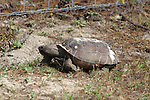 This gopher tortoise heads back to his burrow.  The tortoises are listed as endangered in Florida due to habitat loss.